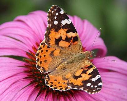 Borboletas atravessam Saara em maior migração de insetos já registrada