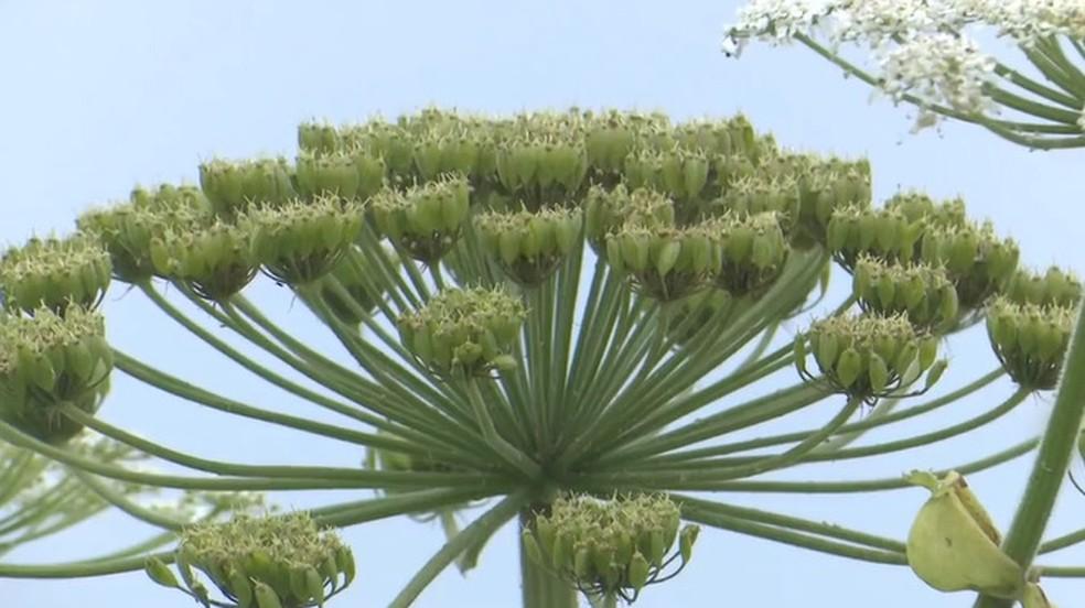 Heracleum mantegazzianum — Foto: BBC