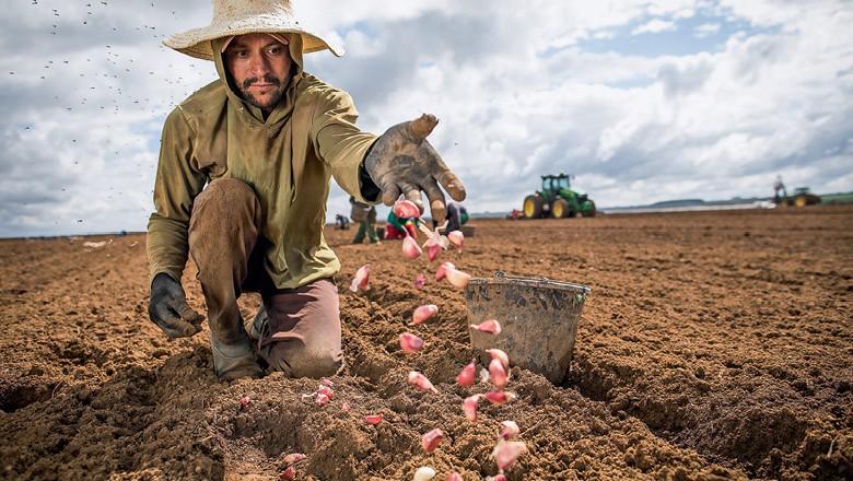 Produtores da  região do Entorno  do Distrito Federal investem no cultivo  de hortifrútis e na produção de vinhos. Na foto: Trabalhador semeia o alho em Cristalina  (Foto: Wenderson Araujo)