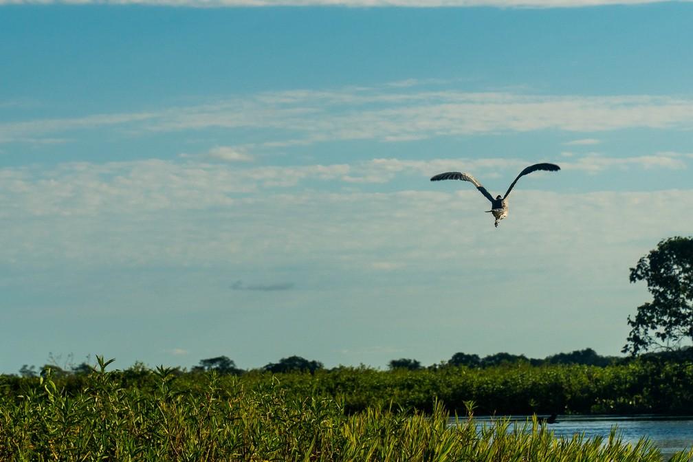 Ave voa sobre os aguapés do Rio Bracinho, no Pantanal matogrossense, em maio deste ano — Foto: Eduardo Palacio/G1