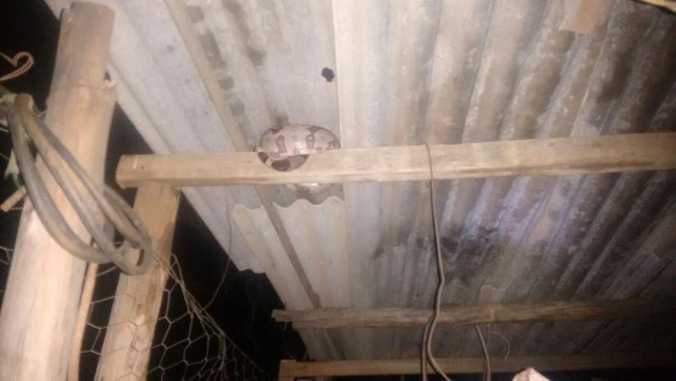Bombeiros resgataram uma jiboia de 1,5 metro no teto de um galinheiro (Foto: Corpo de Bombeiros/Divulgação)