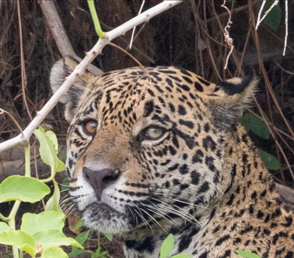 Presença de onças-pintadas tem 'boom' de 173% após queimadas no Pantanal em Mato Grosso — Foto: Frederico Soeeo