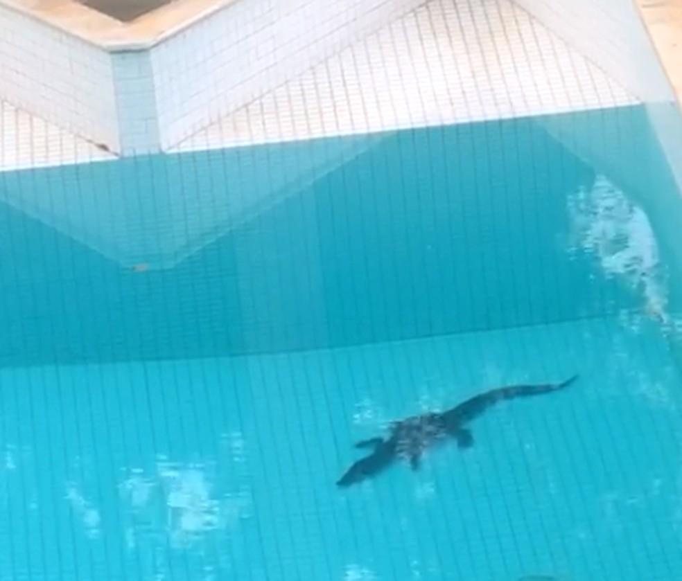 jacaré resgatado em piscina no Lago Sul, no DF — Foto: PM Ambiental/Divulgação