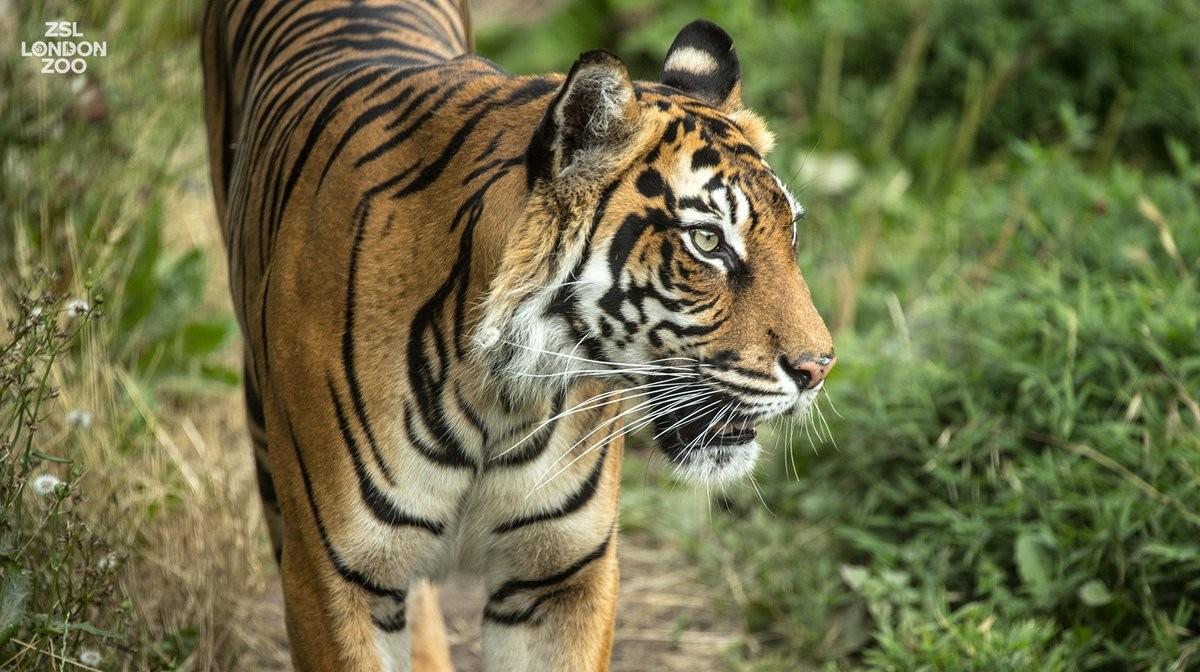 A tigresa Melati tinha 10 anos de idade (Foto: ZSL London Zoo)