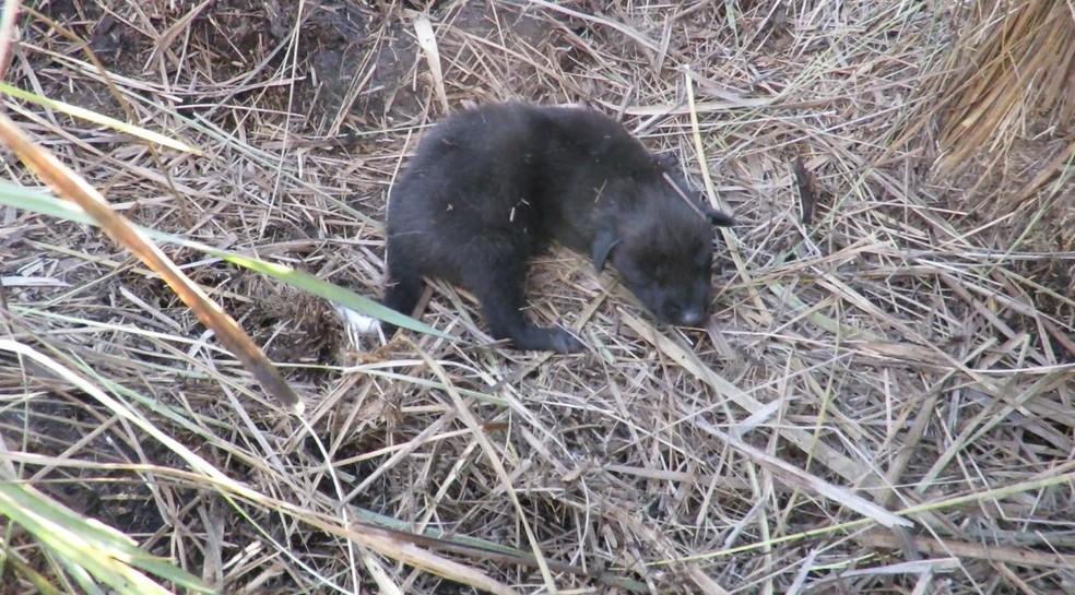 Ao contrário dos adultos, filhotes de lobo-guará nascem com a pelagem escura e atingem o tom avermelhado quando adultos — Foto: Valquíria Cabral/Onçafari