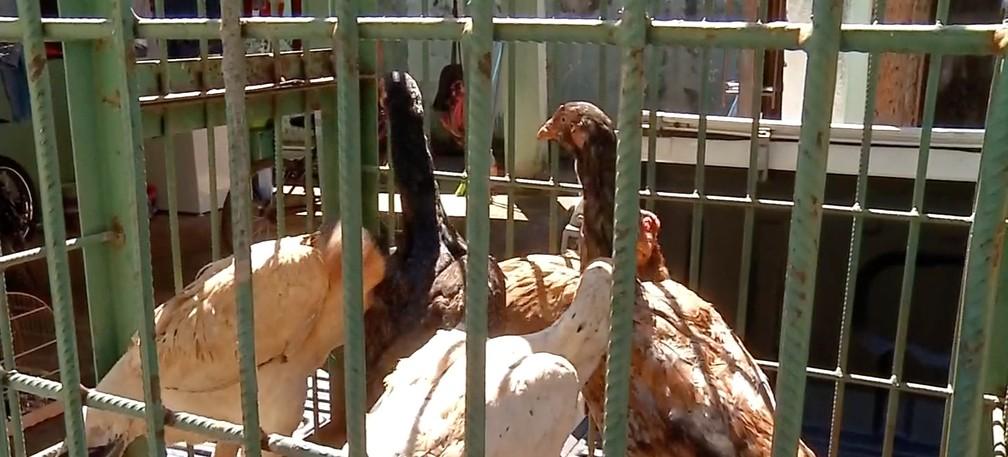 Galos apreendidos em rinha em Tangará da Serra — Foto: TV Centro América