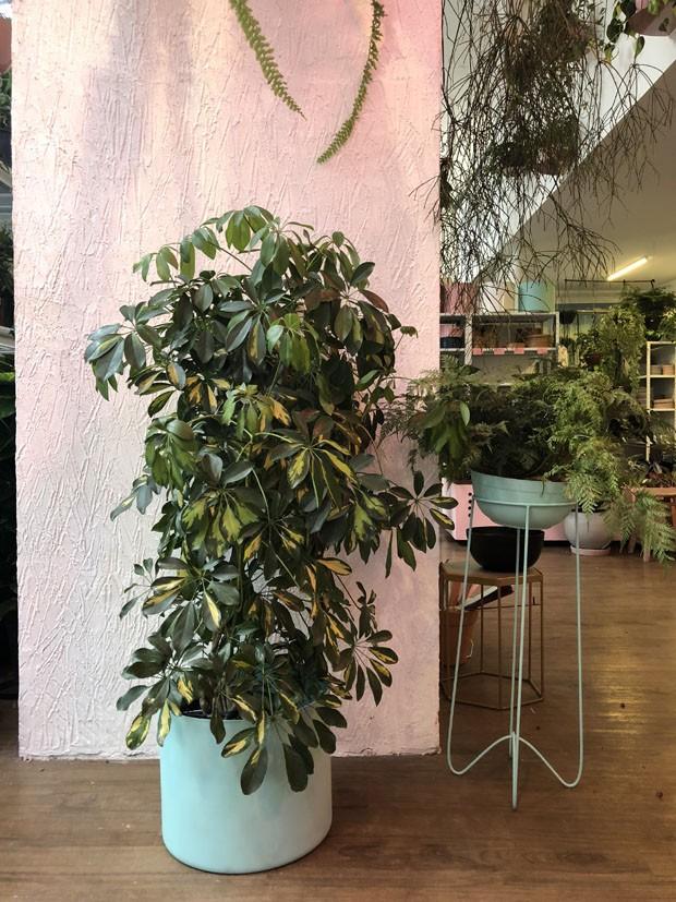 Sete árvores e plantas grandes para ter dentro de casa (Foto: Selvvva/ Divulgação)