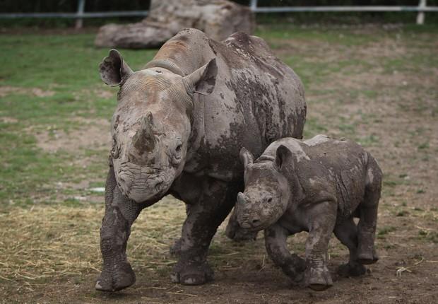 Rinoceronte negro (Foto: Dan Kitwood / Getty Images)