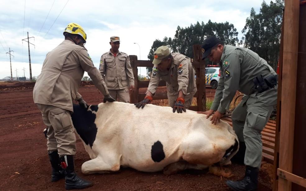 Equipe levanta vaca que estava presa em mata-burro — Foto: Divulgação/Corpo de Bombeiros