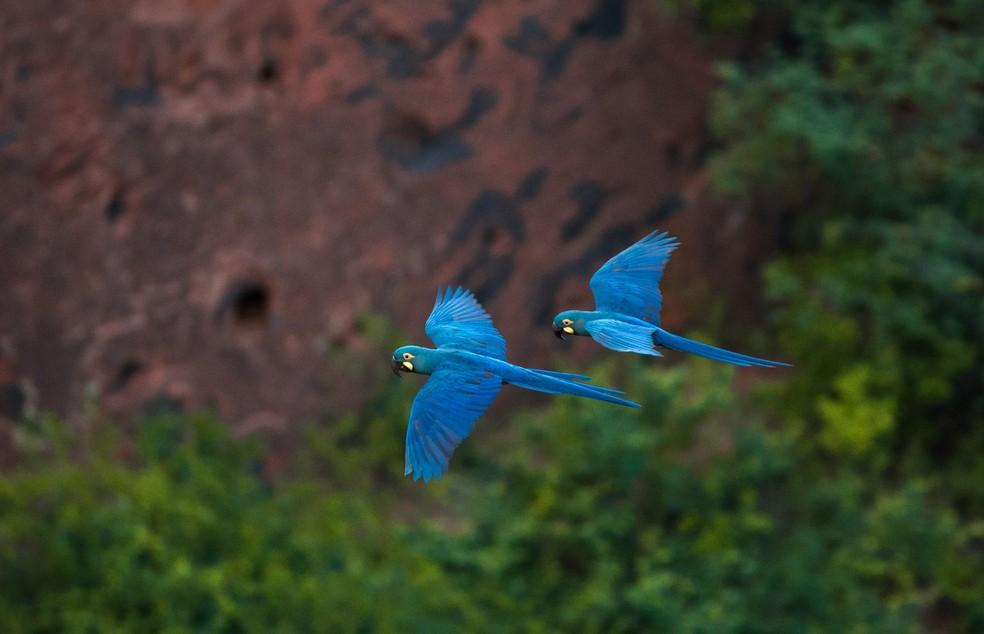 Arara-azul-de-lear é foco de ações de preservação na caatinga — Foto: Marcelo Brandt/G1