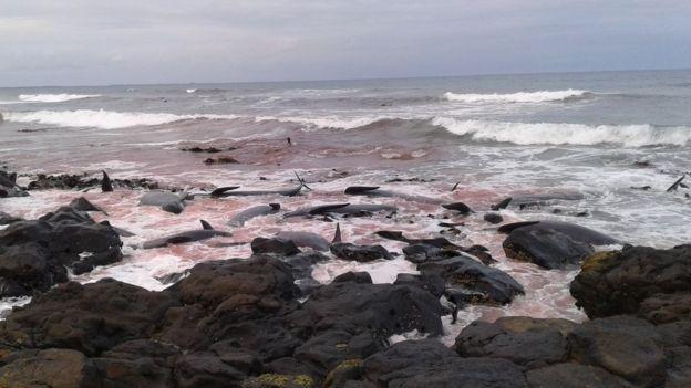 Baleias podem ter morrido por doença, erro de navegação ou fuga  (Foto: DOC)