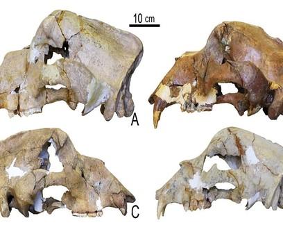 Cientistas sequenciam DNA de osso de urso-das-cavernas de 360 mil anos