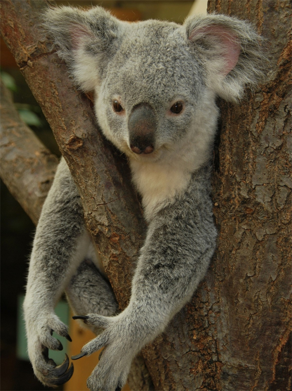 coala pode desaparecer de algumas paisagens da austr u00e1lia