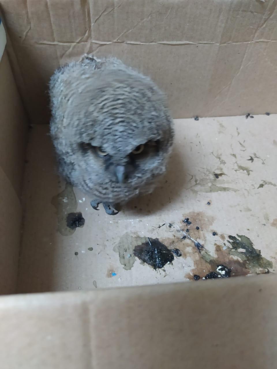 Filhote de coruja-buraqueira é resgatado pelo Corpo de Bombeiros em Barbacena