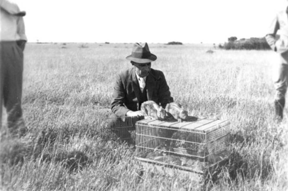 Foto de 1937 mostra coelho com mixomatose sendo liberado para infectar outros na Austrália; país teve de voltar a adotar a guerra biológica mais tarde (Foto: Csiro/Wikimedia Commons)