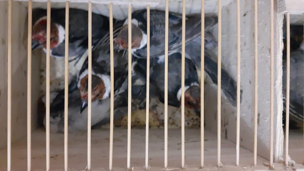 Casal é multado em R$ 453 mil por tráfico e maus-tratos de pássaros silvestres, em São Caetano