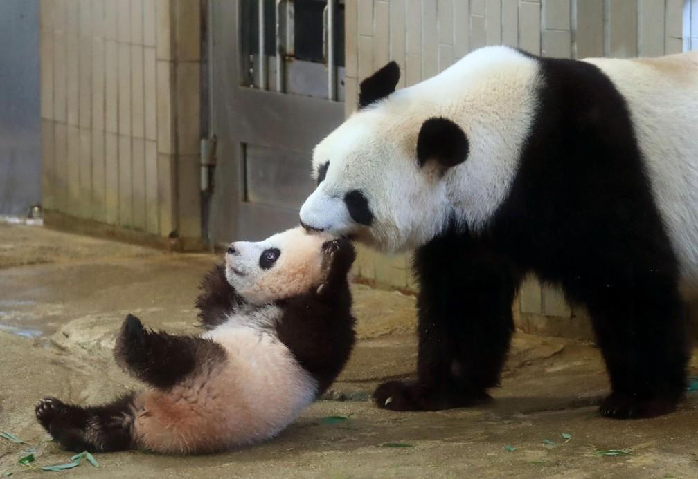 O filhote de panda gigante Xiang Xiang é puxado pela sua mãe Shin Shin no zoológico Ueno em Tóquio, no Japão (Foto: Kyodo News via AP)