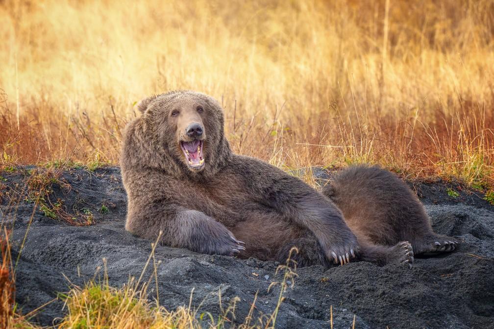 'Me desenhe como um de seus ursos franceses': o urso marrom parece estar posando, deitado, para a foto feita pela fotógrafa Wenona Suydam no Alasca, Estados Unidos.  — Foto: © Wenona Suydam /Comedywildlifephoto.com