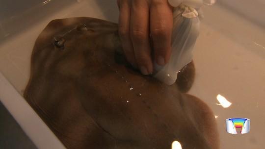 Raia grávida passa por ultrassom em aquário em Ubatuba, SP