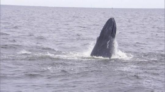 Crônica do JH: a volta das baleias às águas de Nova York