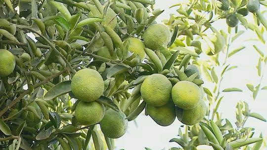 Safra de laranja deverá cair 27,6% com 288,29 milhões de caixas, diz Fundecitrus