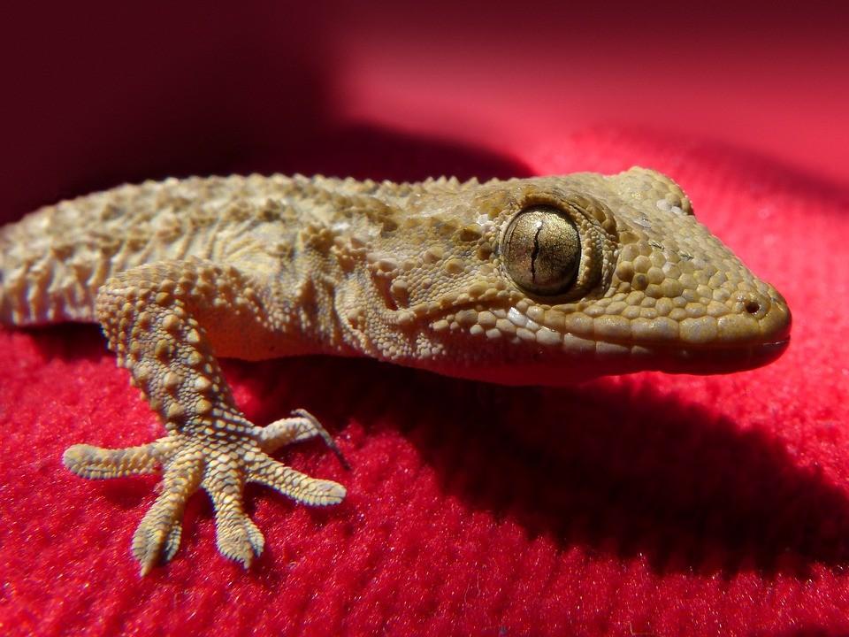 David Dowell morreu 10 dias após entrar em contato com lagartixa em festa de Natal (Foto: Pixabay)
