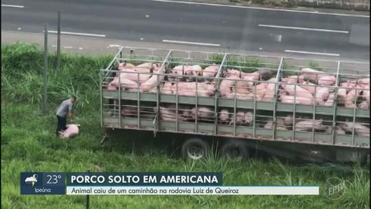 Vídeo mostra resgate de porco que pulou de caminhão em rodovia de Americana