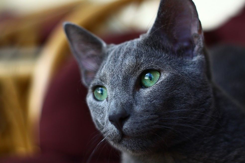 Gato azul russo — Foto: Pixabay