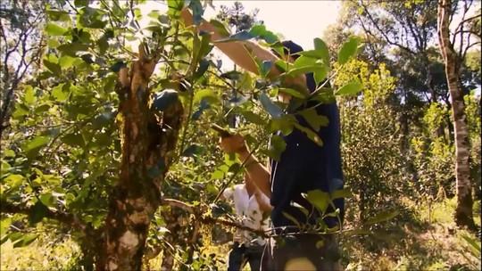 Cultivo de mate emprega 500 mil pessoas no Brasil