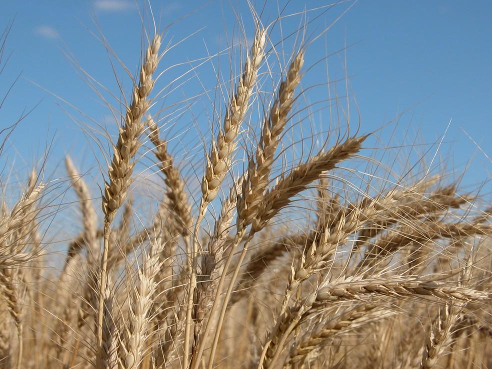 Existem diversas variedades de trigo cultivados no Brasil — Foto: Embrapa Trigo/Divulgação