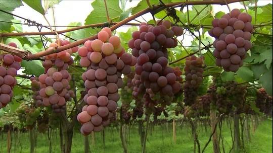 Clima favorável antecipa colheita de frutas em Jundiaí