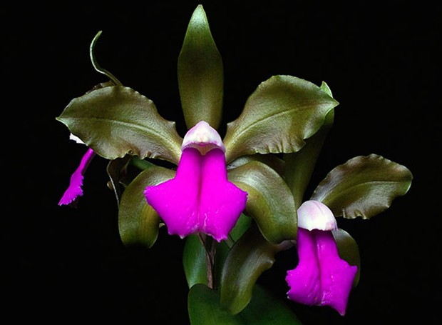 orquíedea-coluna-sergio-oyama (Foto: Divulgação)