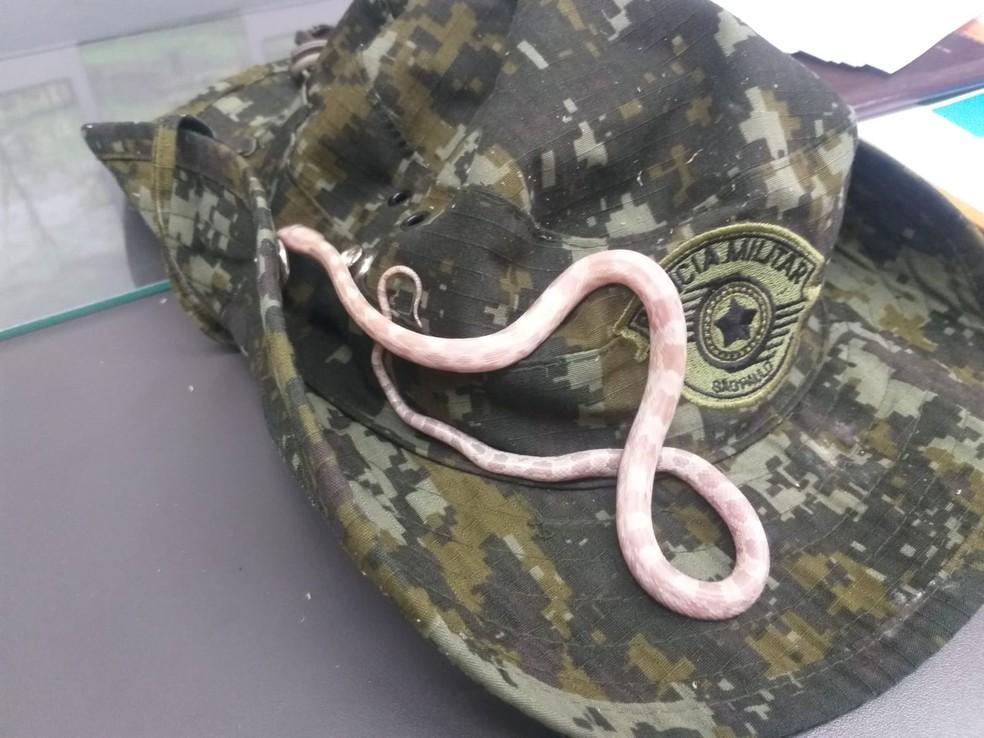 Cobra oriunda dos Estados Unidos foi localizada dentro de ônibus interestadual em Presidente Prudente — Foto: Polícia Militar Ambiental