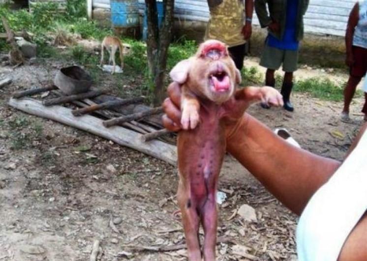 Porco-macaco