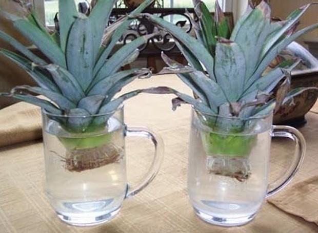 A coroa do abacaxi é útil na hora de replantar a fruta (Foto: Home Joys/ Reprodução)