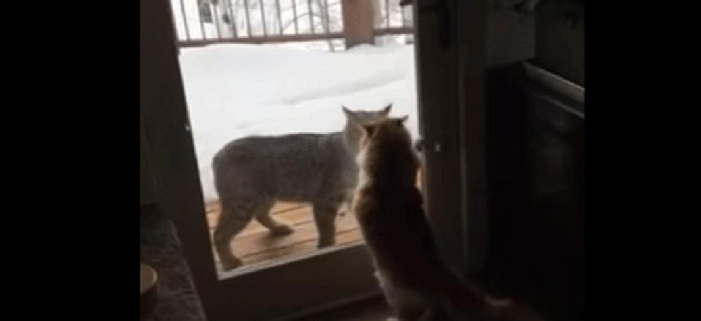 Gato doméstico 'encara' lince nos EUA (Foto: Erik Fallenius/YouTube)