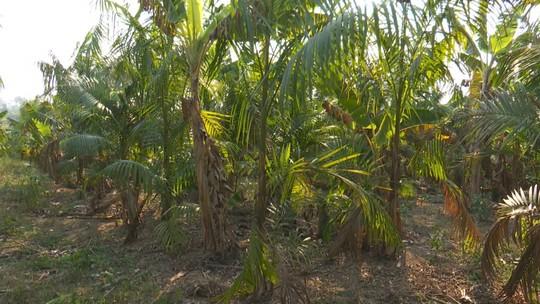 Por causa de friagens, produtores de açaí no AC temem perder mais 40% do plantio