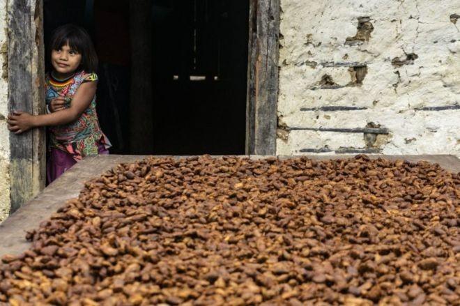 Segundo estudioso sobre cacau, a variedade encontrada em comunidade indígena é de alta qualidade (Foto: Rogério Assis/ISA)