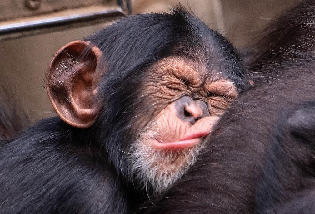 Bebê chimpanzé faz careta enquanto dorme no colo da mãe em zoológico de Leipzig, na Alemanha (Foto: Jens Meyer/AP)