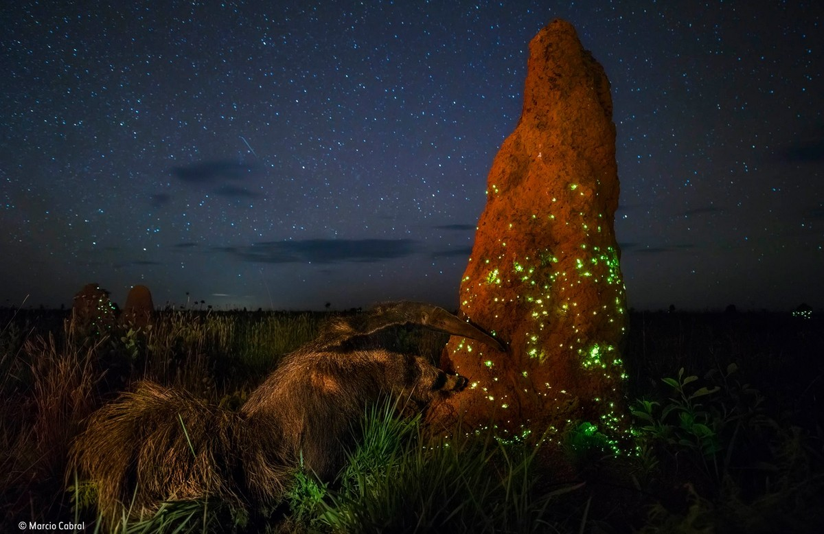 Fotógrafo do DF ganha prêmio em concurso internacional com imagem de tamanduá atacando cupinzeiro