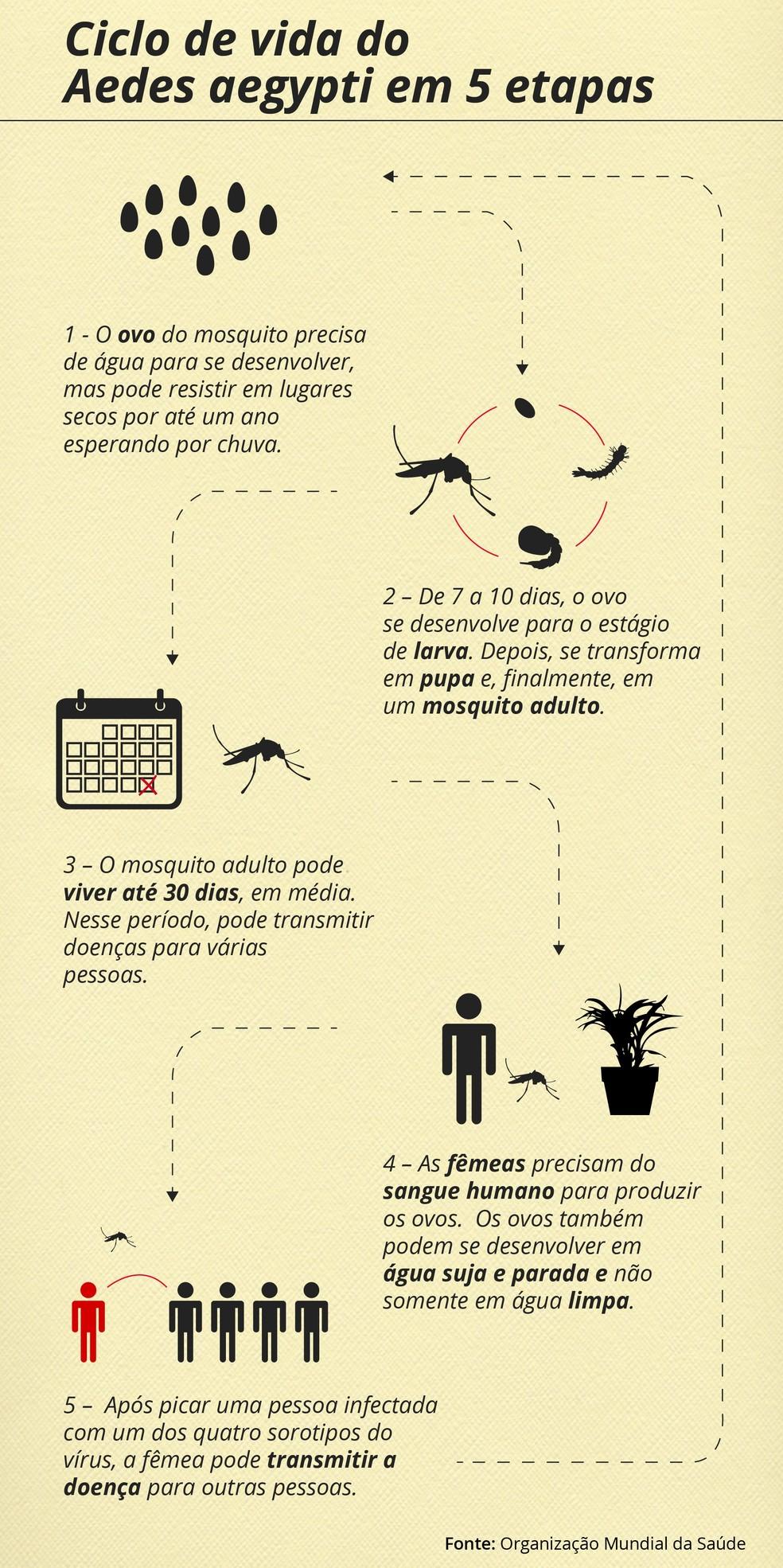 Entenda como funciona o ciclo de vida do mosquito Aedes aegypti  — Foto: Arte/RPC