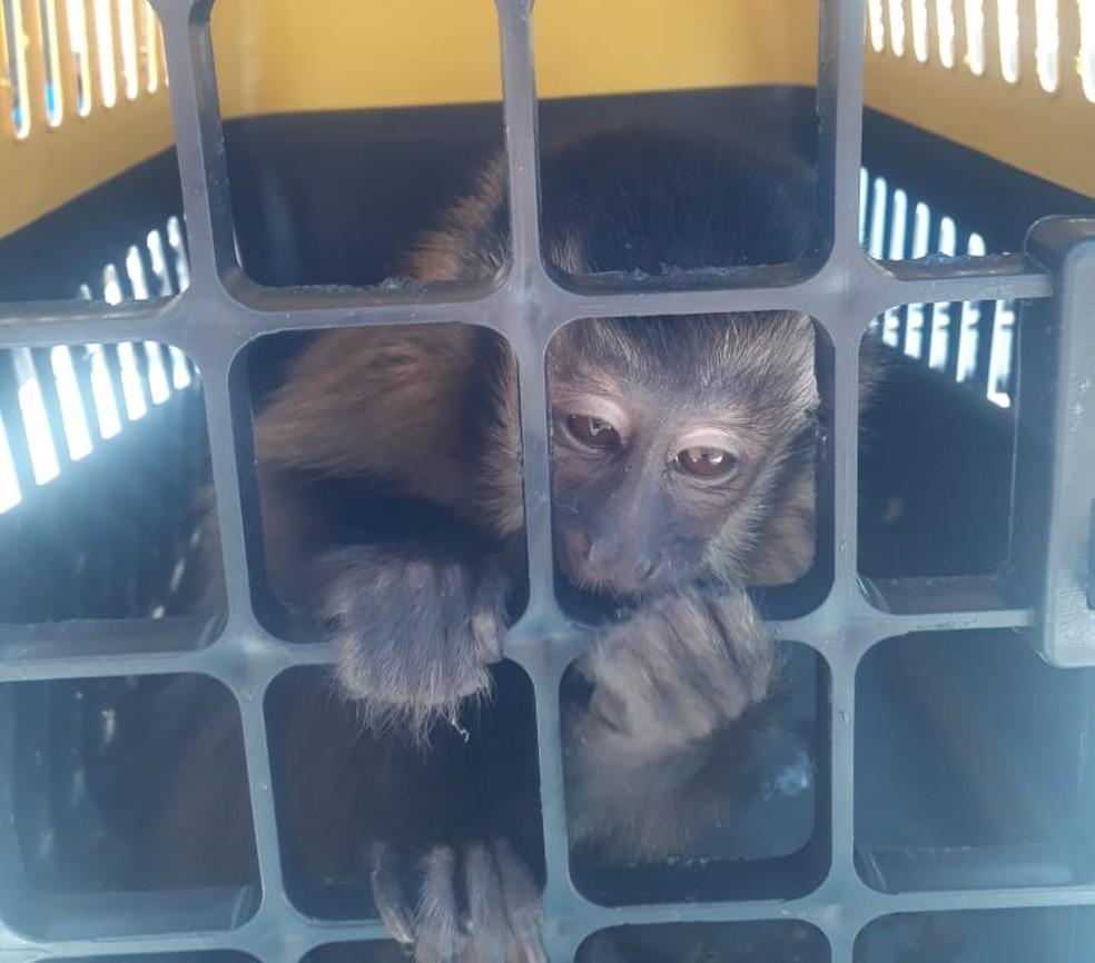 Macaco foi apreendido durante prisão de suspeito de tráfico de animais em Mogi no dia 17 de setembro.  — Foto: Polícia Ambiental/Divulgação