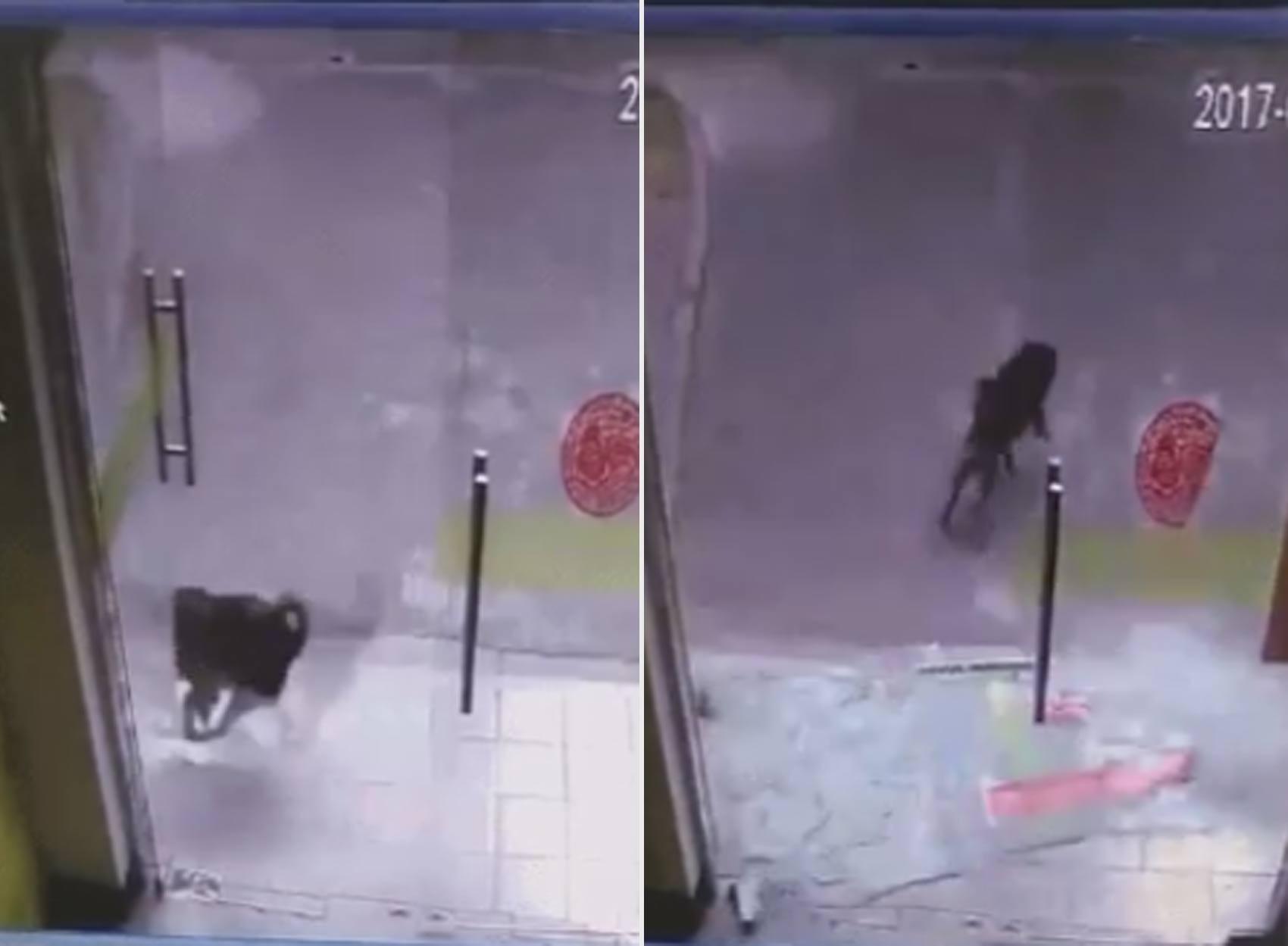 Cão quebra porta de vidro durante perseguição a gato na China