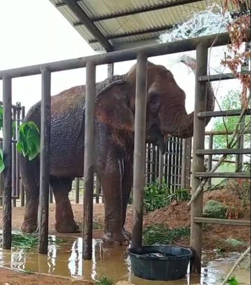 Entidades fazem petição para que elefanta Bambi permaneça no Santuário em MT após pedido de transferência para zoológico de SP