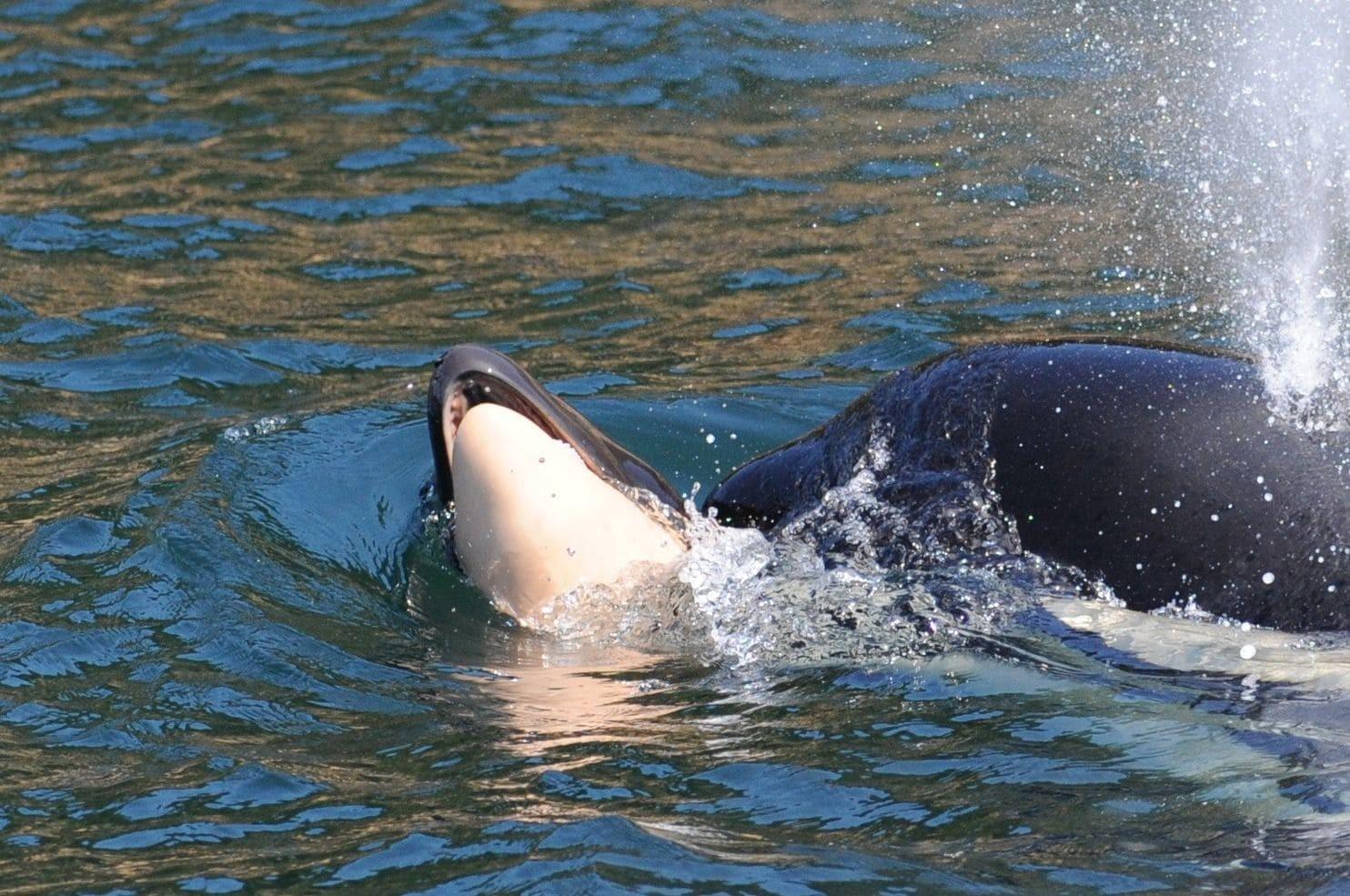 Baleia bebê era a primeira a ter nascido na região noroeste dos Estados Unidos em três anos  (Foto: Ken Balcomb/Center for Whale Research)