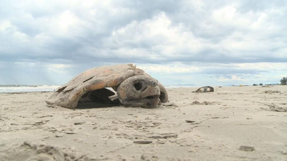 Tartarugas-verdes também foram encontradas mortas nas praias do litoral de SP (Foto: Reprodução/TV Tribuna)