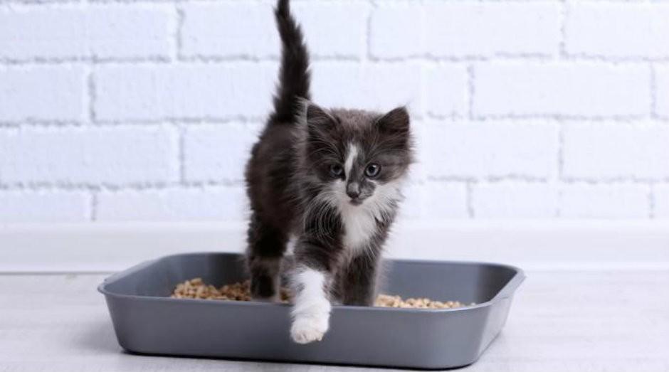 Entenda a relação entre o parasita encontrado em fezes de gato e empreendedorismo (Foto: Reprodução)
