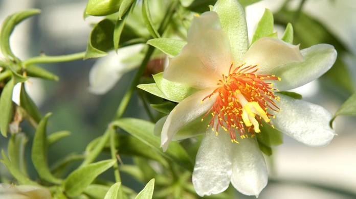 Ora Pro Nóbis Benefícios E Para Que Serve A Planta Rica Em Proteína Nutrição Ge