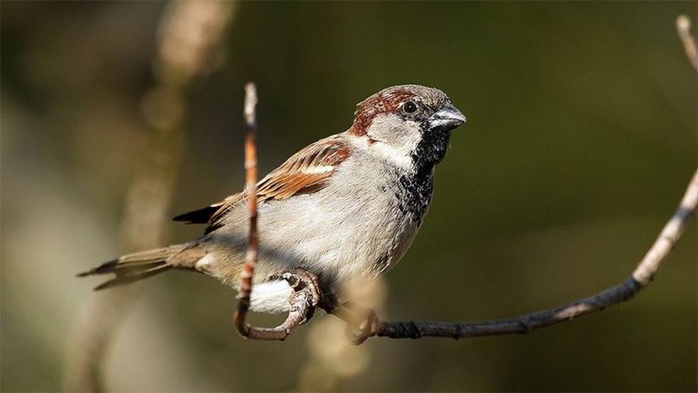 Os pardais em climas mais quentes tendem a ter bicos maiores. — Foto: Getty Images via BBC
