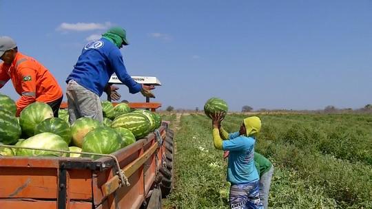 Colheita de melancia deve chegar a 250 toneladas em Felipe Guerra, RN